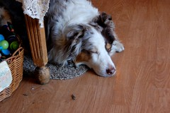 Curiosities dog taking a quick nap (Mixxie Sixty Seven) Tags: shop antique providence aussie australianshepherd merle curiosities weareprovidence wickendenst