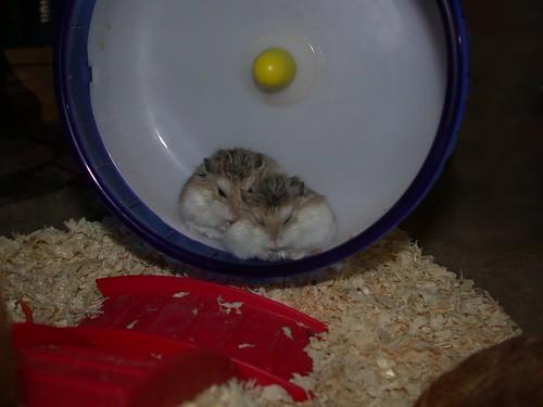 Roborovski's sleeping in their wheel by roborovski hamsters.