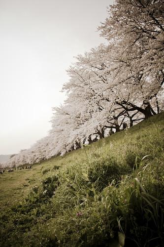 Sakura-Sewari-tei