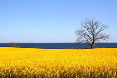 Lone tree by the sea (Ingrid0804) Tags: bridge blue sea sky yellow denmark oilseedrape yellowfield yellowandblue naturesfinest blueribbonwinner funen supershot mywinners abigfave storebaeltsbroen excellentphotographerawards overtheexcellence excapture theperfectphotographer goldstaraward multimegashot qualitypixels alemdagqualityonlyclub awesomeblossoms 100commentgroup artofimages bestcapturesaoi bestcapturesao