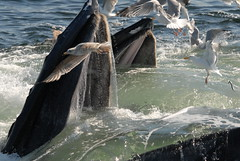 Open Mouth Feeding, Humpback Whales in SBNMS