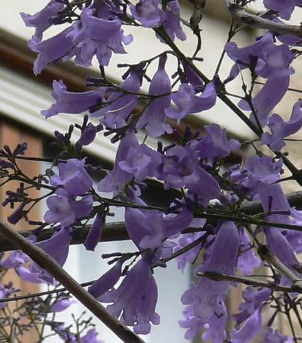 flores de las jacarandas