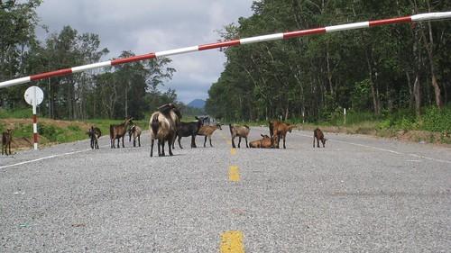 Goats crossing into Laos