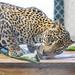 Jaguar Gamboa Wildlife Rescue pandemonio 2017 - 15