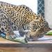 Jaguar Gamboa Wildlife Rescue pandemonio 2017 - 15