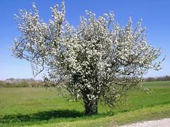 Le vieux pommier en tenue d'apparat (josianelavielle) Tags: arbre en fleur champs