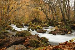 Autumn River (**Hu) Tags: 樹林 奧入瀨溪 河流 水 楓葉 河川 秋天 trees canon japan oirase asia aomori river autumn wood morning 青森 5d 2470 植物 風景 森林 溪流 河 戶外