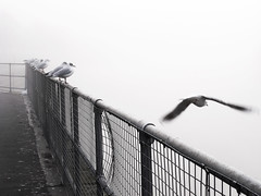 Gulls on Trent (djemde) Tags: nottingham mist fog river seagull flight trent ricoh
