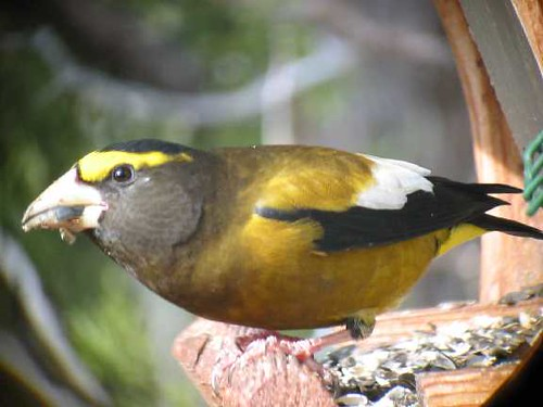 Evening Grosbeak male FEB03