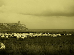 sheeps (gicol) Tags: bw italy tower field countryside italia torre sheep campagna coastline archeology salento puglia pecore apulia pascolo