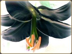 Black Beauty (pinklady6... Home ..) Tags: orange black flower macro soe naturesfinest blueribbonwinner amazingtalent flickrsbest golddragon artlibre platinumphoto impressedbeauty diamondclassphotographer flickrdiamond flowersandcolours platinumheartaward excapture theperfectphotographer pinklady6