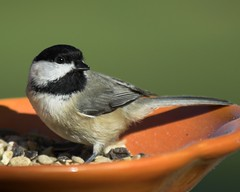 A Bowl of Thanksgiving Seed (Momba (Trish)) Tags: orange green bird nature birds interestingness nikon tennessee seed explore chickadee nikkor carolinachickadee momba blueribbonwinner nikond200 interestingness315 i500 abigfave naturewatcher explore22november2007