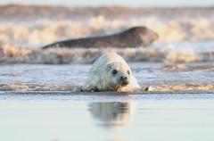 pupmum (the_boglin) Tags: seals donnanook