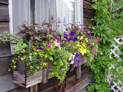thrillers, fillers and spillers (anniedaisybaby) Tags: summer garden cottage windowsill oldwood floralappreciation windowboxflowers excellentsflowers