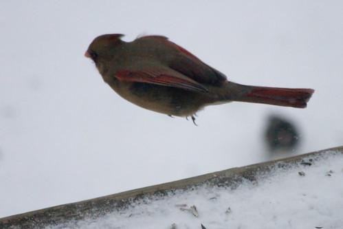 Jumping Female Cardinal!