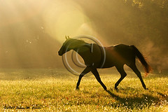 Horse trotting (smcarterphotos) Tags: morning shadow horses horse mist field silhouette countryside pasture equestrian trot equine