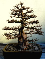 Bonsai is............... (LaTur) Tags: plant green nature beauty dc washington zen bonsai dcist nationalarboretum supershot impressedbeauty we3dc welovedc