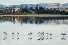 Flamingos at Salt Lake in Larnaka (Andrew Deko) Tags: lake reflection bird mediterranean flamingo salt cyprus mosque hills migration pallas larnaka phoenicopterus roseus sultantekke