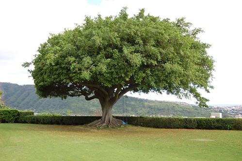 Amazing old Mango Tree by daveiam.