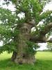 Blenheim Palace (AGA~mum) Tags: uk trees england landscapes britain worldheritagesite oaktrees gnarlytrees blenheimpalace capabilitybrown thecotswolds ukcotedazur2007