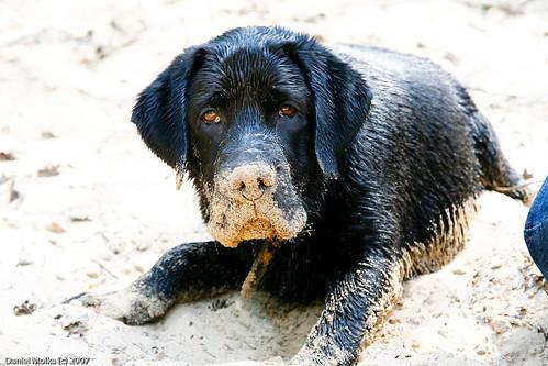 black labrador retriever - Enzo