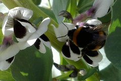 Broad Bean Bee