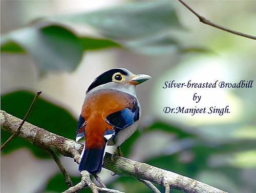 Silver-breasted Broadbill by Dr Manjeet Singh.