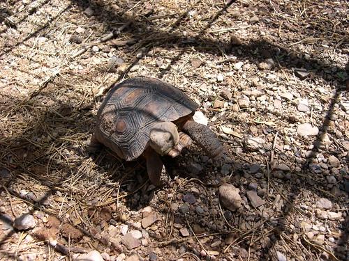 Baby desert tortoise