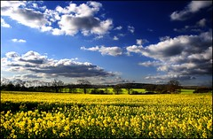 field of yellow (Andrew :-)) Tags: