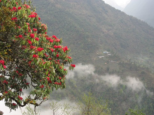 Red rhodedendron in foreground, Sinuwa in the distance