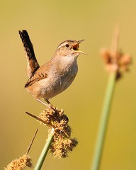 Finally (hearman) Tags: singing wren firstclass marshwren
