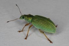 Green Weevil Macro 3 (Rowan Castle) Tags: macro green nature bug beetle weevil golddragon coolestphotographers img2224weevil8bit