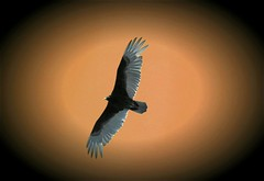 Black Vulture (Big Grey Mare) Tags: blackvulture aworkofart impressiveimages impressedbeauty diamondclassphotographer flickrdiamond ljomi theperfectphotographer