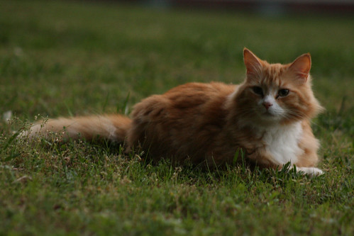 Merlin the Orange Tabby Cat - IMG_1390