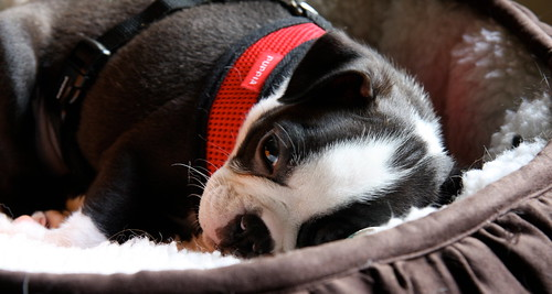 Boston terrier. Haggerty spot