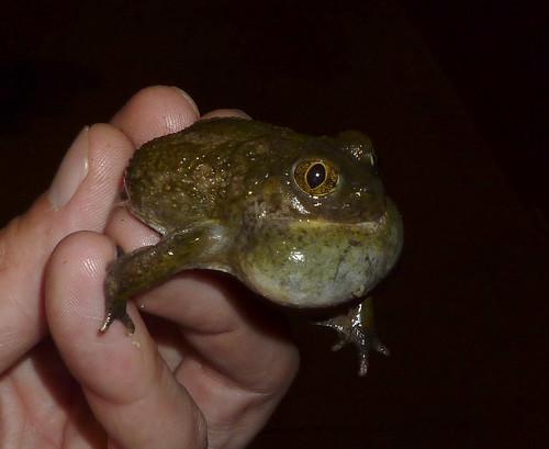 western spadefoot toad!