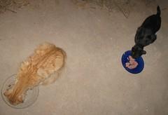 Two stray cats, dining on Fancy Feast (Hairlover) Tags: pet cats pets public cat kitten kitty kittens kitties straycats kissablekat kittyschoice catmoments allcatsnopeople
