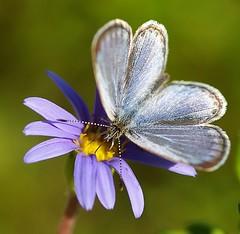 blue on blue (bluehazyjunem) Tags: blue autumn searchthebest portfolio adonis 2007 naturesfinest blueribbonwinner 35faves abigfave almostanything themacrogroup macromarvels