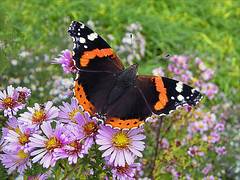 End of October (Dragan*) Tags: flowers nature field grass closeup butterfly serbia redadmiral getty belgrade beograd aster srbija zemun kalemegdan vanessaatalanta cvet singidunum