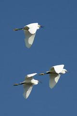 Snowy Egrets, Bolsa Chica Ecological Reserve, Huntington Beach, CA (flyingibis) Tags: