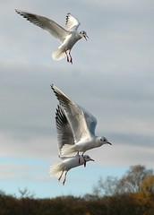 Three more gulls (JoJones) Tags: gulls suttonpark blackheadedgulls
