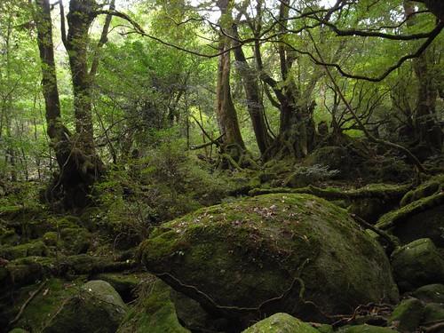 R0012145 (もののけ姫の森の一部)もののけ姫の森へは白谷山荘から5分程で到着できる...