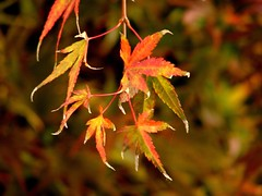 Autumn leaves (osornina) Tags: maple arce ahorn