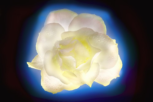 White Simplicity Rose