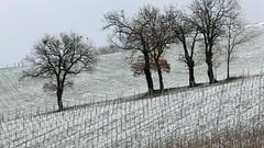 oaks and grapes (Terre Contese) Tags: foglie vintage neve uva pino aghi inverno freddo grape vigne vino vento vite pigna fiocco romagna pini uve viti quercia vigna fiocchi vigneti estremo querce terrediconfine