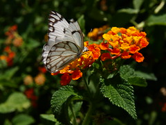 Butterfly on a flower (mikeknight) Tags: africa flower butterfly namibia windhoek municipalgardens
