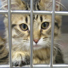 Tabby Kitten Behind Bars for Being Felony Cute (Pixel Packing Mama) Tags: cute catsandkittensset pixelpackingmama dorothydelinaporter worldsfavorite montanathecat~fanclubpool spcacatspool ceruleanthecat~fanclubpool tabbycatsset canonallcanonset thecorvallisoregonyearsset allcatsallowedpool uploadedsecondhalfof2007set update4sure painterlycatsset favoritedpixfirsthalfof2010set favup010510 update4sureset pixelpackingmama~prayforkyronhorman oversixmillionaggregateviews over430000photostreamviews