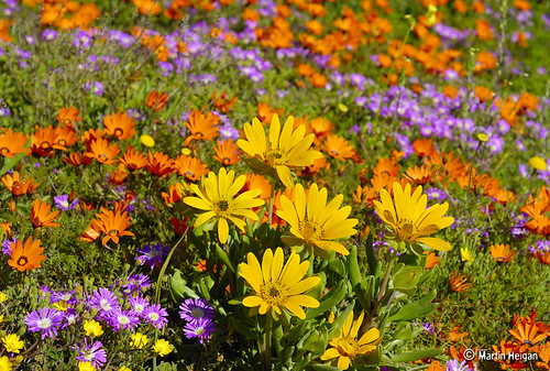 Namaqualand Wild Flower Carpet