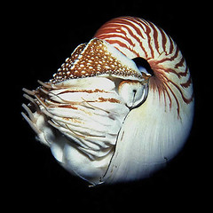 Nautilus (Ken Bondy) Tags: underwater nautilus natureandnothingelse