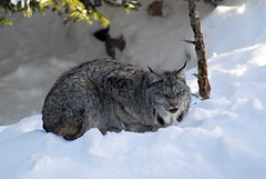 Lynx ou loup-cervier (Rock Arsenault) Tags: lynx faune mywinners photoquebec